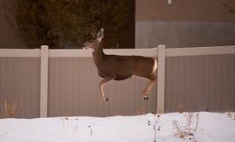 Mule deer in urban area Stock Photography