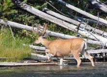 Mule Deer in Velvet. Mule deer buck in full velvet in Yellowstone royalty free stock photo
