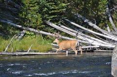 Mule deer in velvet. Mule deer crossing river in full velvet in Yellowstone stock image