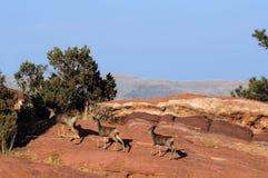 Mule Deer Royalty Free Stock Photos