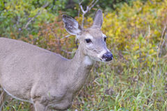 Mule Deer in the Western Mountains Stock Photography