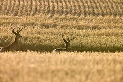 Mule Deer in Wheat Field Stock Photography