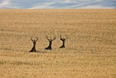 Mule Deer in Wheat Field Stock Photos