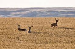 Mule Deer in Wheat Field Stock Photo
