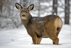 Mule Deer in winter Stock Photo