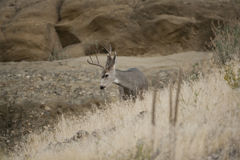 Mule Deer Royalty Free Stock Image