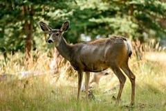 Mule Deer (Odocoileus hemionus) Stock Photography