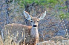 Mule Deer Yearling Royalty Free Stock Photos