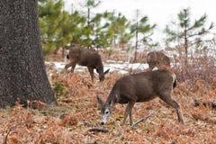 Mule Deer in Yosemite. Mule deer grazing in Yosemite National Park. Narrow DOF with focus on the nearest deer Stock Photos