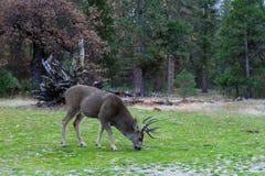 Mule deer in Yosemite Stock Image