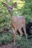 Mule Deer. In Yosemite National Park Stock Photo