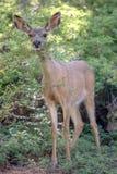 Mule Deer. In Yosemite National Park Stock Photos