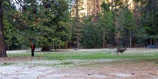 Mule deer in Yosemite Stock Photo