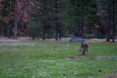 Mule deer in Yosemite Royalty Free Stock Photography