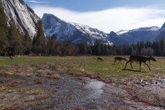 Mule deer in Yosemite Valley royalty free stock image