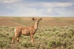 Mule Deer Young Buck In Colorado royalty free stock photo