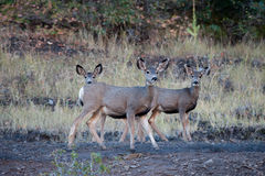 Mule deer with young Stock Image