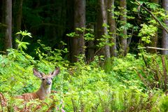Mule deer Royalty Free Stock Photos