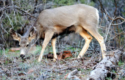 Mule Deer - Zion National Park Stock Images