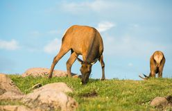 Mule Deers on the Meadow Stock Images
