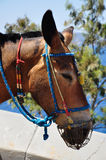 Mule Stock Photography
