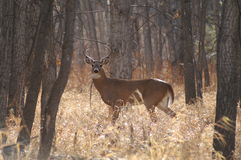 Mule-eared buck in velvet. This buck takes a long, hard look as he moves through the woods in rut season, seeking a doe or a place to rub his uncomfortable Royalty Free Stock Images
