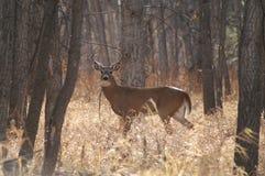 Mule-eared buck in velvet Royalty Free Stock Images