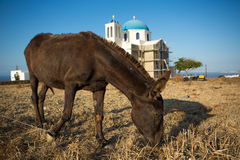 Mule  eating at the shoreline Stock Images