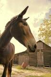 Mule et grange photo stock