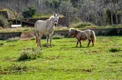 Mule et poney frôlant sur le champ photos libres de droits