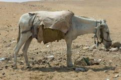Mule fatiguée photos libres de droits