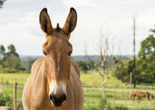 Mule. Front of a mule on a ranch Stock Photos