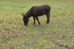 Mule in a grass field in a petting zoo royalty free stock images