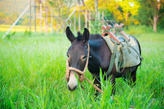 Mule graze,hinny Royalty Free Stock Photo