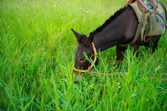 Mule graze,hinny Royalty Free Stock Image