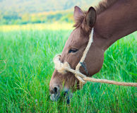 Mule graze,hinny Royalty Free Stock Photos