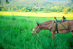 Mule graze,hinny Stock Photos