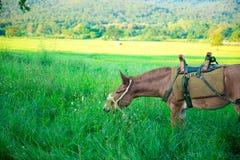 Mule graze,hinny Stock Photos