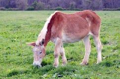 Mule Grazing Royalty Free Stock Image