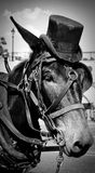 Mule in a hat Royalty Free Stock Photo