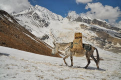 Mule in Himalayas Stock Photography