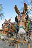 Mule horse team royalty free stock photo