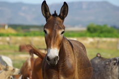 Mule. Hybrid of a mare and donkey. Mule on a pasture. Hybrid of a mare and donkey.Spain. A mule against the background of mountains stock photo