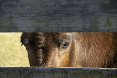Mule looking through fence Stock Photo
