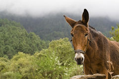 Mule in nature Royalty Free Stock Photo