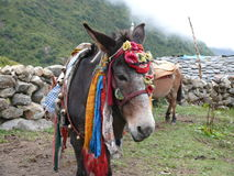 Mule in Nepal Stock Photos