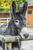 Mule Royalty Free Stock Image