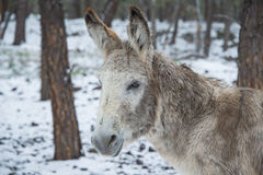 Mule Portrait Stock Photography