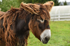 Mule portrait stock images