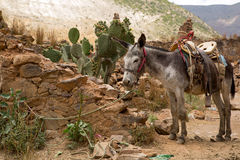 Mule ready for a ride. Mule with saddle tied with  rope in abandoned town of Real de Catorce Royalty Free Stock Image